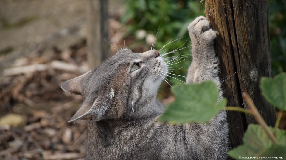 cat sharpening her claws