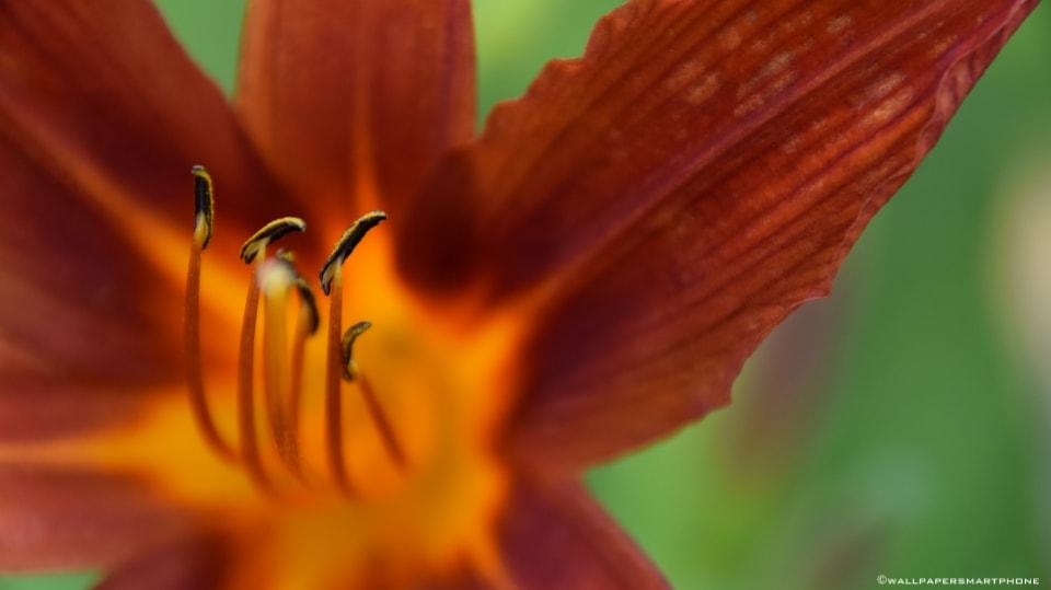 Blüte Staubblätter