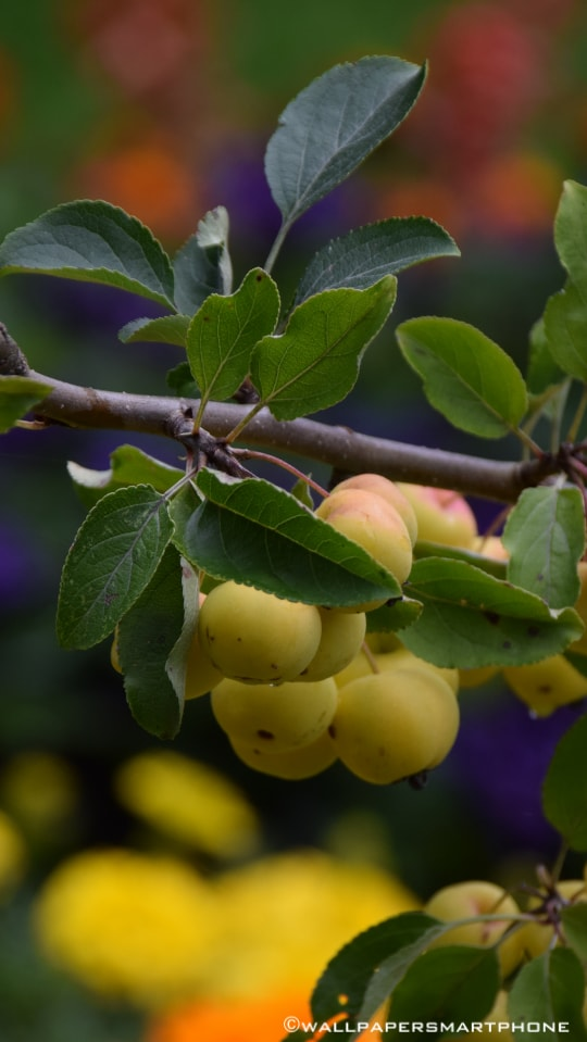 fruits on branches