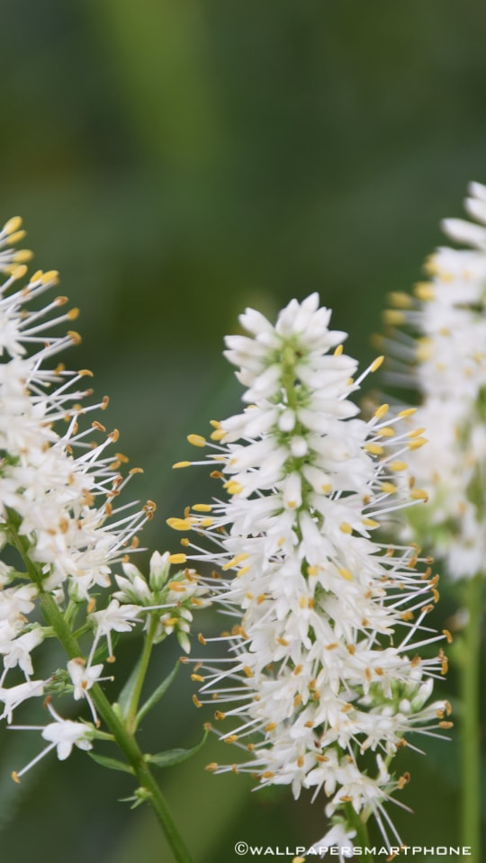 white blossoms with long stamens