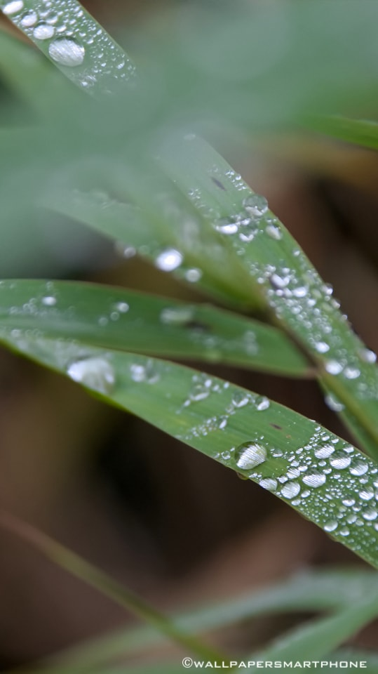 waterdrops on reed gras