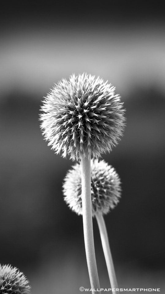 thistles in black and white